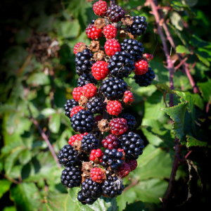 The year draws on and the hedgerows are loaded with fruits of various kinds.