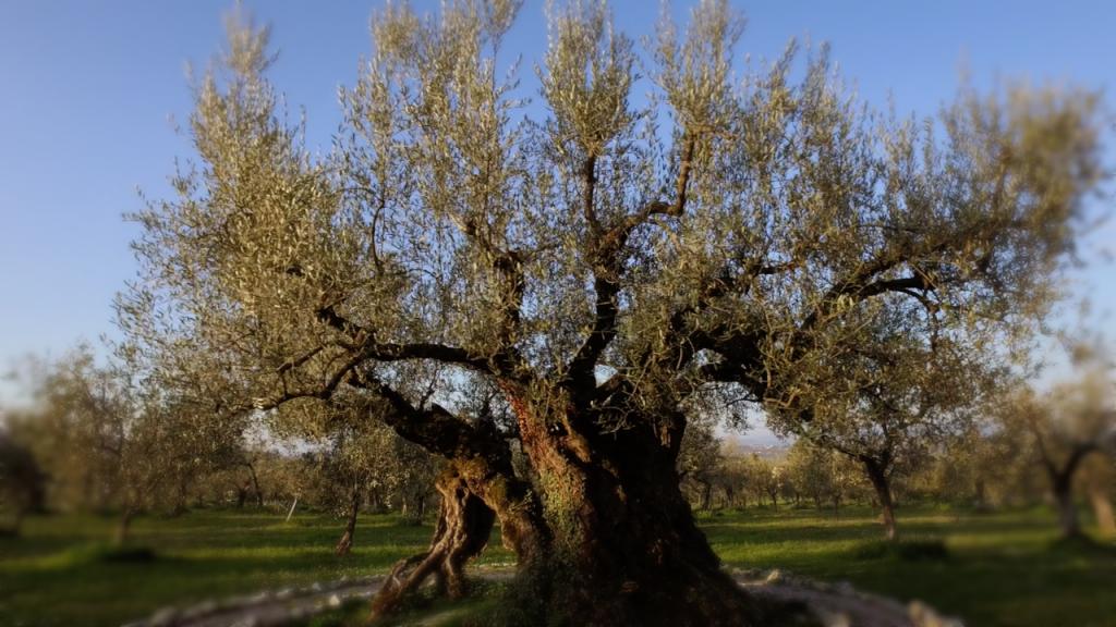 olivo macciano